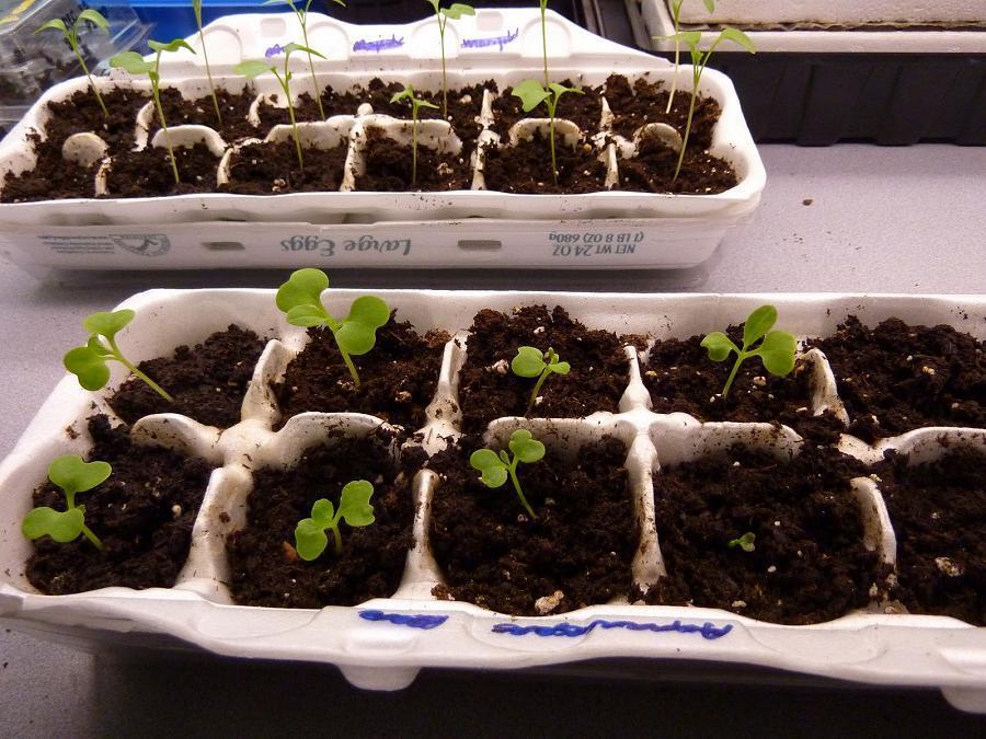 how to grow start seeds indoors