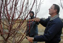 Late winter and early spring are some of the best times to prune fruit trees. Pruning ensures the trees produce larger fruit and keeps the tree smaller, making harvesting easier. (photo: Kevin Robinson-Avila, New Mexico State University)
