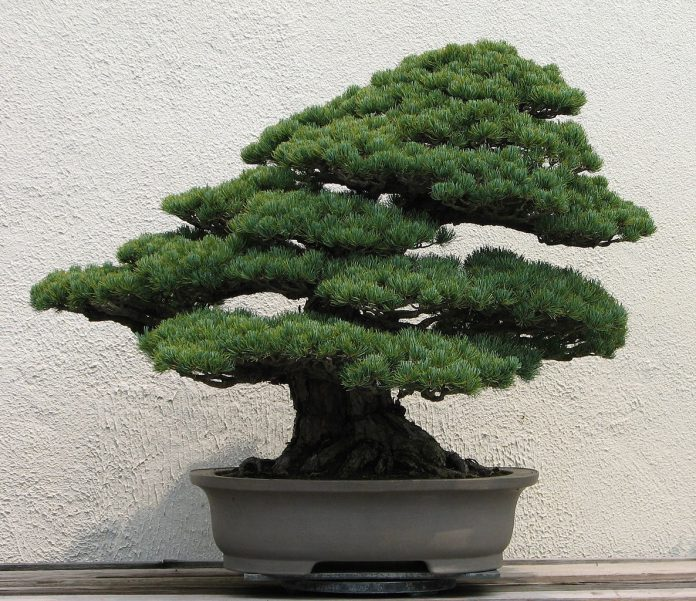 A Japanese White Pine bonsai on display at the National Bonsai & Penjing Museum at the United States National Arboretum (photo: Sage Ross)