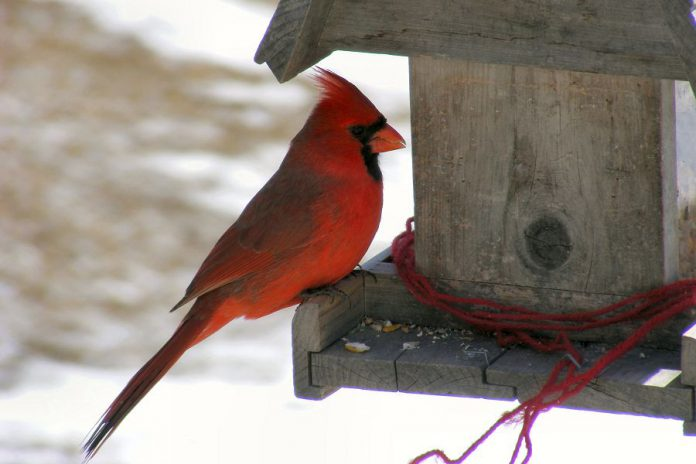Northern Cardinals, which are often spotted in the Peterborough area, are frequent visitors to bird feeders if the correct seed is provided. They enjoy white millet, cracked corn, safflower and sunflower seeds. (Supplied photo)