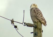 Increasing numbers of snowy owls have been popping up in southern Ontario in recent weeks. Scientists say that an abundance of prey in the bird's northern breeding areas is the reason behind the bird's southward expansion. (Photo: Spencer Sills)
