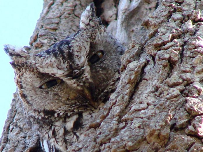 Nocturnal birds, the Eastern Screech-owl avoids detection by camouflaging itself amongst the bark of deciduous trees (photo: Wikipedia)