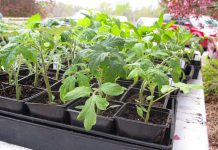 There's something for everyone at the annual GreenUP Ecology Park Plant Sale that runs from noon to 4 p.m. on Sunday. The sale features a wide selection of native plants, trees, shrubs and vegetable seedlings available for purchase, with all funds raised supporting the park. (Photo: tomatoheadquarters.com)
