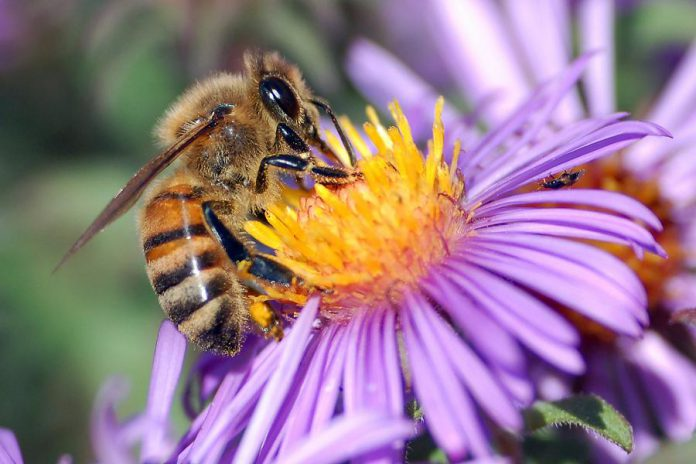 With the decline of pollinator species likes bees, adding native plants and wildflowers to your backyard are important steps to helping reverse the pollinator decline (photo: Wikipedia)