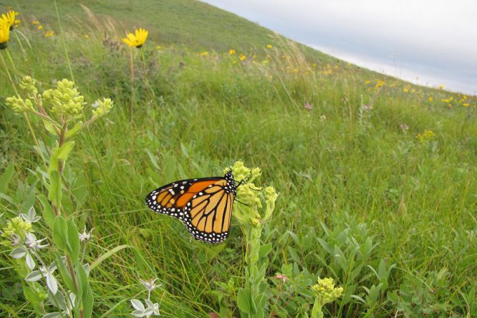 The iconic monarch butterfly has been in sharp decline in recent years. You can learn more about the life cycle and habitat of the monarch butterfly at a workshop hosted by Peterborough GreenUp later this month. (Photo: U.S. Fish and Wildlife Service)