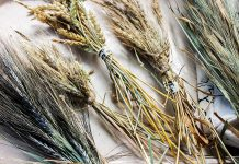 Several varieties of grains can be grown locally in your own garden including buckwheat, rye, quinoa, and barley