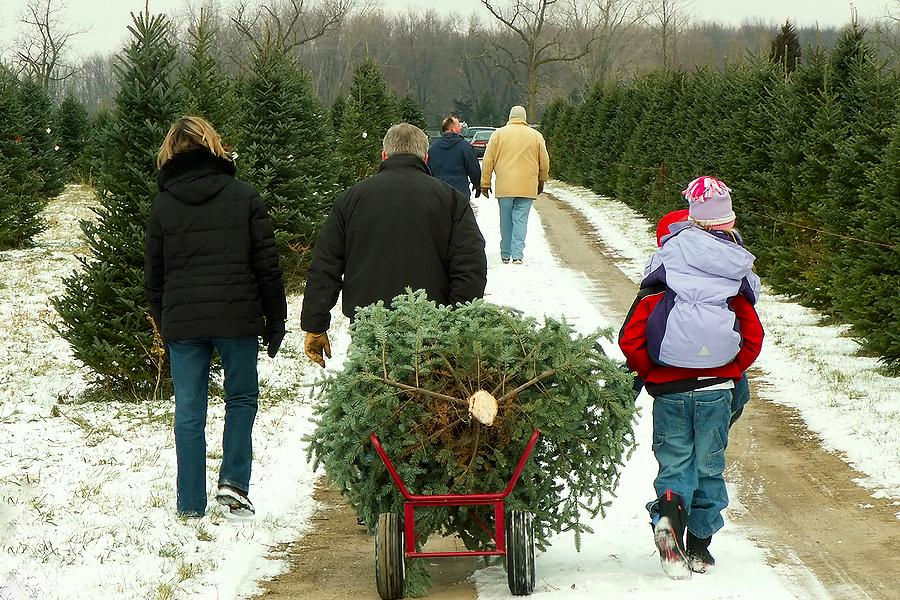 Cut Your Own Christmas Tree Near Me.Where To Harvest Your Own Christmas Tree In The Kawarthas