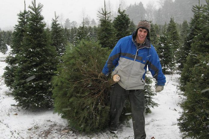 Grafton Christmas Trees, east of Cobourg, offers cut-your-own Balsam Fir and White Spruce (photo: Grafton Christmas Trees)