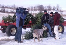 CHEX Television at Crosswind Farm last winter, when the farm began accepting discarded Christmas trees to feed their goats. Crosswind Farm is accepting discarded trees again this year. (Photo courtesy of Crosswind Farm)