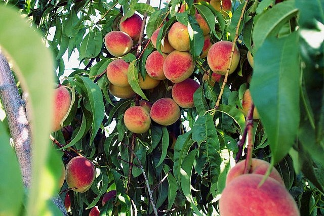Some fruit trees, such as peaches, grow their fruit on the new wood growth that pruning encourages. Learning some key pruning skills now can bring a bountiful harvest to your trees. (Photo: Zechariah Judy</a>, Flickr)