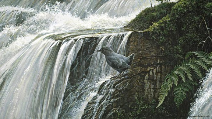 "In 1981, Bateman was painting ""Dipper By The Waterfall"" at Buckslides in Haliburton when he discovered a path that led to the property he and his wife purchased (painting by Robert Bateman)"