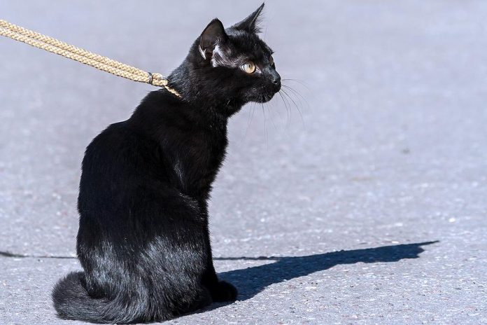 Under a new animal control by-law, cats are treated similar to dogs in the City of Peterborough. New requirements for cat owners include keeping cats on their own property (with a leash or harness if necessary), obtaining an annual licence from the Peterborough Humane Society, and picking up after their cats.