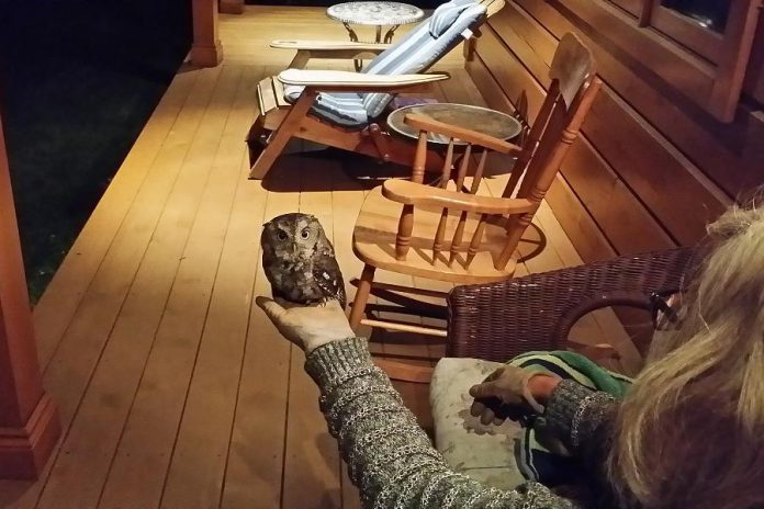 Lindsay's Connie Blackwell holds an owl, temporarily stunned after flying into their front-porch window, in the palm of her hand (photo: Richard Connolly)