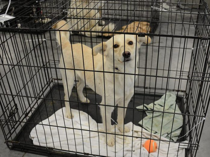 The dogs were crated for the flight and given toys for the journey. (Photo: Eva Fisher)