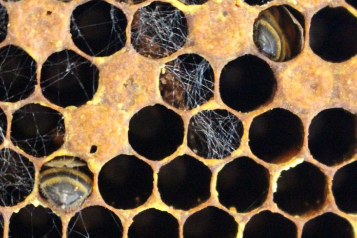 This honeycomb, from a frame removed from the GreenUP Ecology Park hive, shows that workers died while depositing pollen and feeding on honey; you can see the tips of their abdomens in the cell. (Photo: Karen Halley, GreenUP)