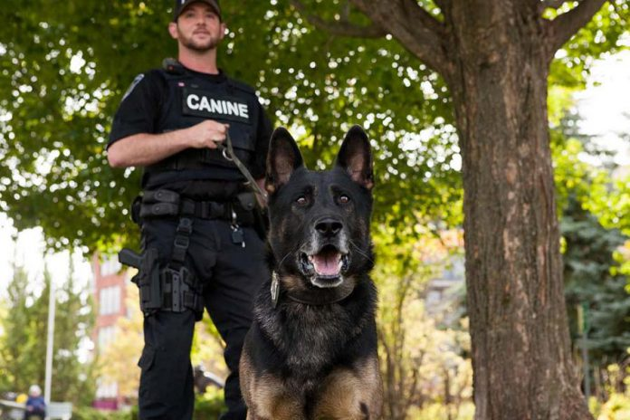 The Peterborough Police Service Canine (K9) Unit has two police service dogs, Wolfe and Hal, both German Shepherds. They're brothers one year apart in age. (Photo: Peterborough Police Service)