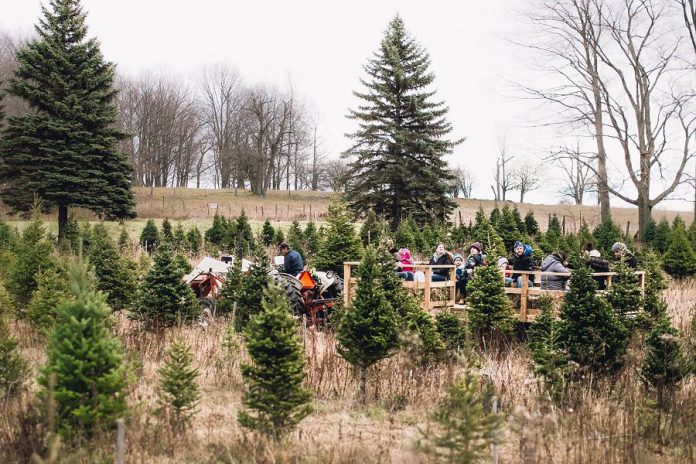 Barrett's Christmas Tree Farm in Cobourg offers a range of harvest-your-own trees, as well as hay rides and a petting zoo (photo: Barrett's Christmas Tree Farm / Facebook)