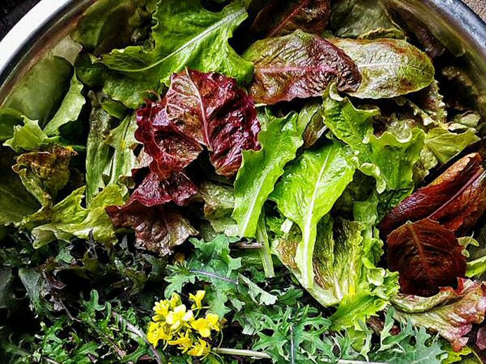 Lettuces, kale. and an edible bok choi flower make for a colourful winter salad. These were harvested last March during a snow flurry. (Photo: Tiny Farm)