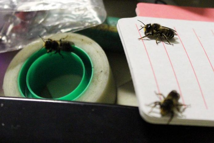 A GreenUP staff member was surprised by several leafcutter bees that emerged from a piece of garden hose that was being stored in her desk drawer. During the previous season the hose had been used as part of a tree guard, at which time a female leaf cutter bee had laid her eggs inside.