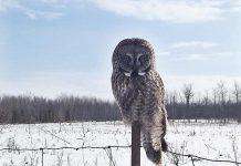 A Great Grey Owl in Lindsay (photo: Hayley Rodman)