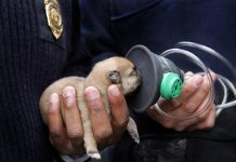 Invisible Fence Brand of South East Ontario had donated pet oxygen mask kits and training to Trent Lakes Fire Rescue. Pictured is a puppy who was resuscitated by firefighters in Cleveland Ohio in 2010 using a mask donated by Invisible Fence (photo: Invisible Fence Brand)