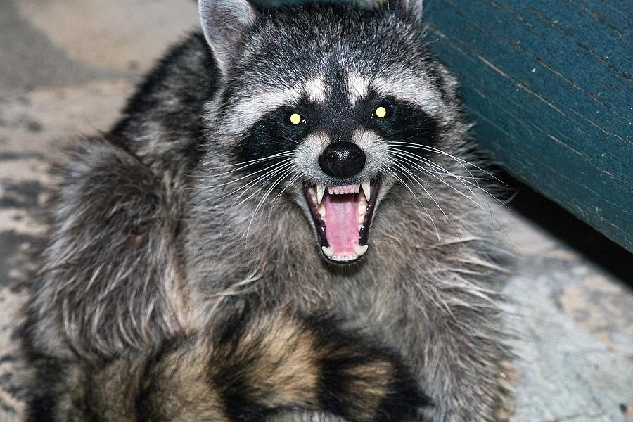 What Does A Raccoon Bite Look Like On A Cat