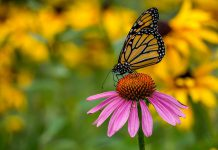 A new pollinator garden at Hilliard and Marina streets in Peterborough is about to be planted. The Northcrest Pollinator Garden Project was funded under the City of Peterborough's 2016 Participatory Budgeting initiative, which provides residents with the opportunity to identify priority capital projects in their neighbourhoods with an expenditure of up to $20,000.