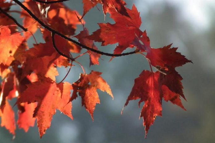 In celebration of Canada's 150th Anniversary, Selwyn Township residents can apply to receive one of the 150 Maple Trees available.