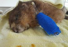 George, a muskrat who was deliberately injured and abandoned, has succumbed to his injuries. Police are now investigating the incident and seeking the public's help. (Photo: Soper Creek Wildlife Rescue)