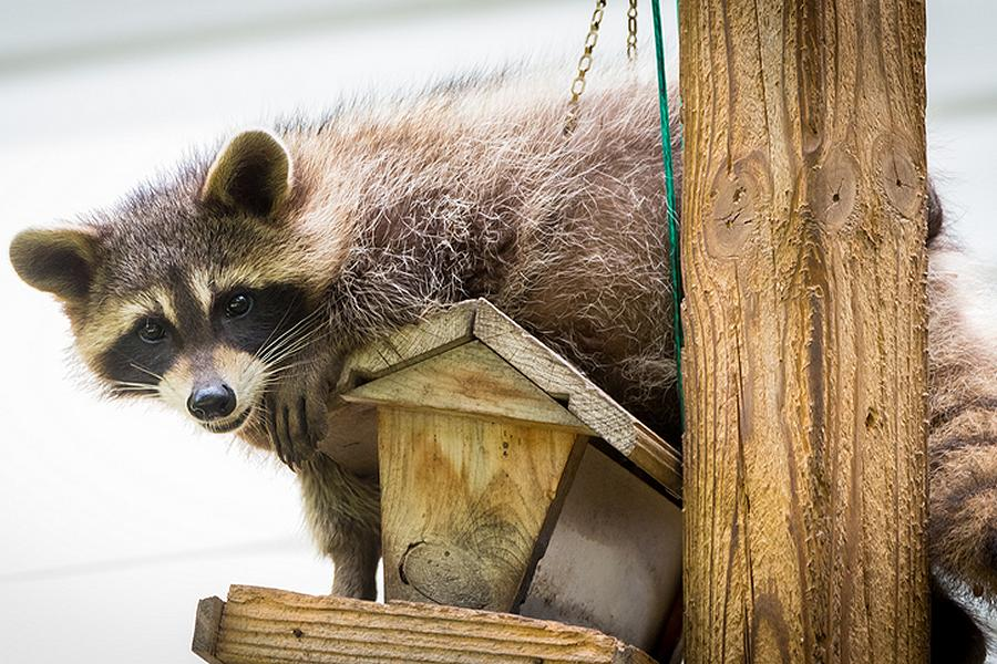 Does your cottage policy insure against raccoons and bears? Talk to Darling Insurance to make sure your cottage is covered.