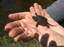 GreenUP Environmental Education Coordinator Danica Jarvis holds a baby snapping turtle recently found swimming in Meade Creek at GreenUP Ecology Park. Snapping Turtles are listed as Special Concern in Ontario which means that they are in danger of becoming threatened or endangered due to a combination of biological characteristics and identified threats. (Photo: GreenUP)