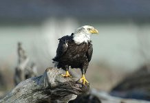 The bald eagle is a species of special concern in Ontario. (Photo: Province of Ontario)