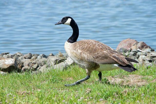 Although Canada Geese are beautiful birds, they can be an unexpected and unpleasant surprise for new shoreline property owners. (Stock photo)
