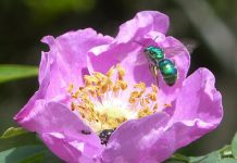A Halictid Sweat Bee on Prickly Wild Rose, one of the pollinators that the City of Kawarthas Lakes will strive to protect as Canada's latest Bee City. (Photo: City of Kawartha Lakes)