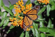 A female monarch drinks nectar from a butterfly milkweed plant in the gardens at the GreenUP Store in downtown Peterborough. She was also observed laying two eggs on the underside of the milkweed leaves; milkweed is the host plant for the monarch butterfly. (Photo: Karen Halley)