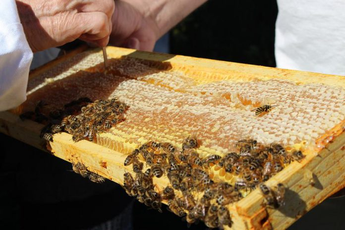 Honey is scraped from a frame that was removed from the GreenUP Ecology Park hive. Nectar is converted to honey when the bee regurgitates the liquid and stores it in honeycombs inside the beehive. (Photo: Karen Halley)