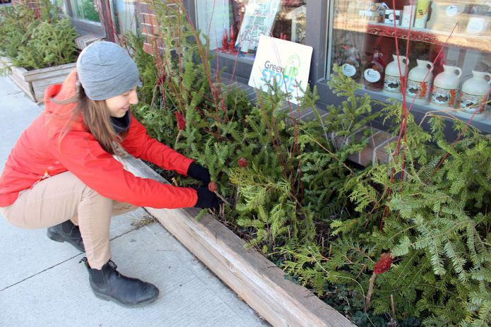 The GreenUP Store features many resources, ideas, and products to help you have a green and waste-free holiday. Here, GreenUP Store Coordinator Kristen LaRocque decorates the storefront at 378 Aylmer Street with natural cedar, balsam fir, sumac, and dogwood boughs: decorations that will beautify the space for the entire winter and are completely compostable at the end of the season. (Photo: GreenUP)
