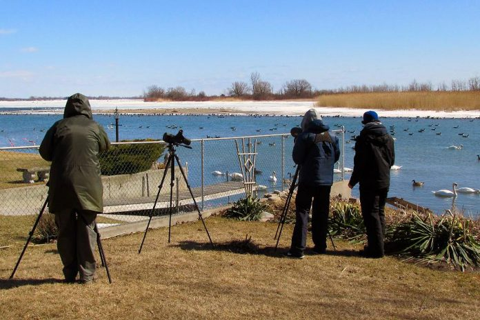 Members of the Peterborough Field Naturalists enjoy a chilly but rewarding day watching and counting waterfowl. Many species of birds can be seen throughout the winter season, including during the Christmas Bird Count that is happening in Peterborough on December 16th. All experience levels of birdwatchers are welcome to join in Peterborough County's largest and longest running citizen science project. (Photo courtesy of Peterborough Green UP)