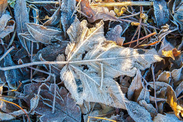 Frosty leaf on the ground