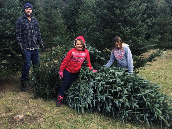 Little Lake Christmas Trees in Cramahe offers cut-your-own Fraser Fir and Balsam Fir. (Photo: Little Lake Christmas Trees / Instagram)