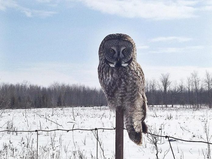 Hayley Rodman captured this photo of a Great Grey Owl in Lindsay. (Photo: Hayley Rodman)