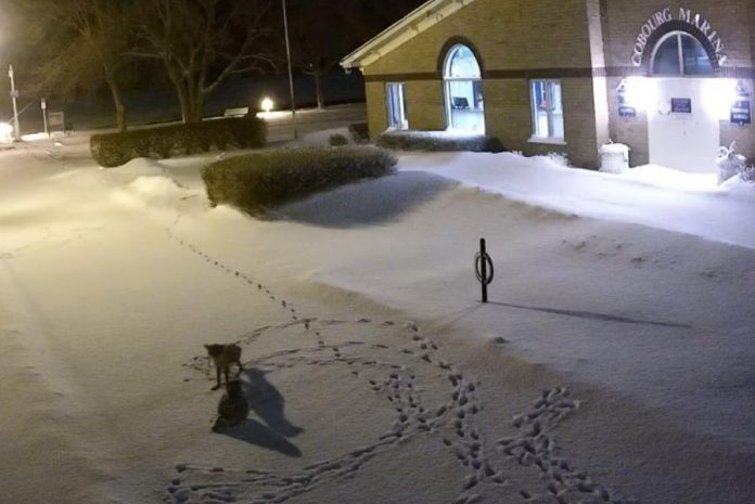 A red fox circles a snowy owl in this screenshot from a video captured by security cameras at the marina in Cobourg. (Photo: Town of Cobourg)