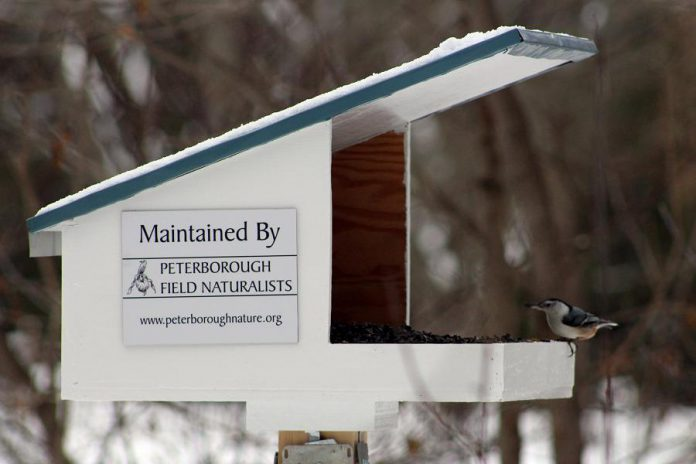 A White-breasted Nuthatch perches on a feeder at GreenUP Ecology Park. The Peterborough Field Naturalists stock the feeders at Ecology Park all winter long to help birds find a consistent source of food during the cold season, and to provide visitors with an opportunity to watch and enjoy local wildlife. (Photo: Karen Halley)