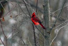 A male Northern Cardinal perches on a tree branch at GreenUP Ecology Park. Cardinals are a common and beautiful sighting at feeders over the winter. Many bird species remain in cold, northern areas for the season. You can help ease the hardships of birds that stick around by providing food to supplement their diet. (Photo: Karen Halley)