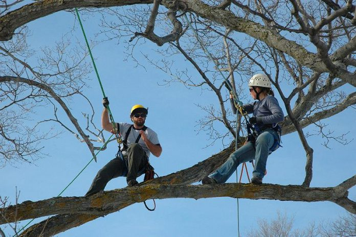 Matt and Tracy Logan of Logan Tree Experts, a member of the Kawartha Chamber of Commerce & Tourism, are celebrating their 10th anniversary. Matt and Tracy, pictured here climbing a maple tree, started their tree care business in Lakefield, where Matt was born and raised. (Photo: Logan Tree Experts)
