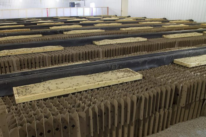 """Cricket condos"" at Norwood's Entomo Farms, North America's first and largest insect farm for human consumption. Crickets need 12 times less feed than cattle, four times less feed than sheep, and half as much feed as pigs and broiler chickens to produce the same amount of protein. (Photo: Entomo Farms)"