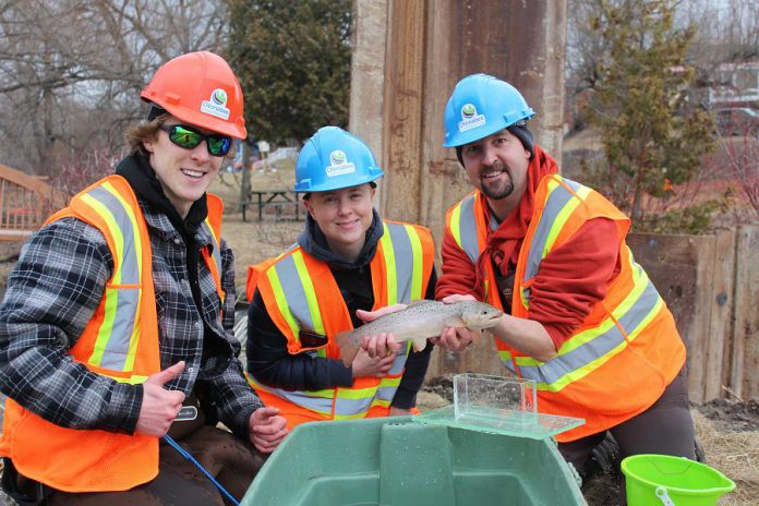 Staff from the Ministry of Natural Resources and Forestry (Jason Runtas, Jackie Wood, and Scott Gibson) holding a Brown Trout, one of 797 fish rescued from the pool at the base of the Millbrook Dam spillway. (Photo courtesy of  Otonabee Conservation)
