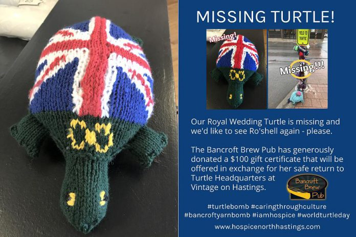 Ro'shell, a turtle honouring the Royal Wedding, is missing and the Bancroft Brew Pub is offering a $100 gift certificate for her safe return. (Photo courtesy of Knittervention)