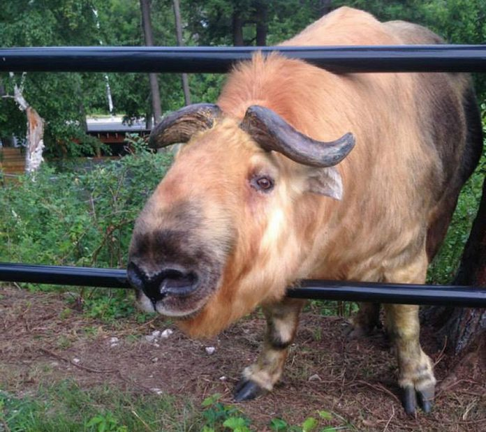 A Sichuan takin, the Riverview Park and Zoo acquired Quentin in the spring of 2014 from the Assiniboine Zoo in Winnipeg. The zoo announced the death of Quentin on May 14, 2018. (Photo: Riverview Park and Zoo / Facebook)