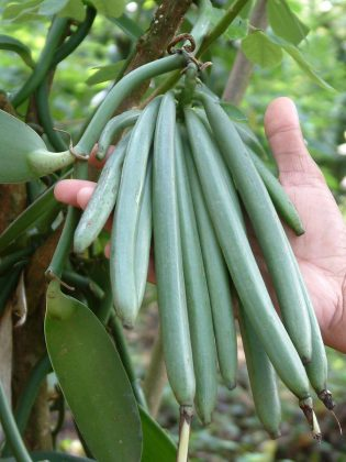 The vanilla beans remain on the vine to ripen for nine months before they are harvested by hand. The harvested beans then go through a curing, drying, and resting process that takes up to six months.